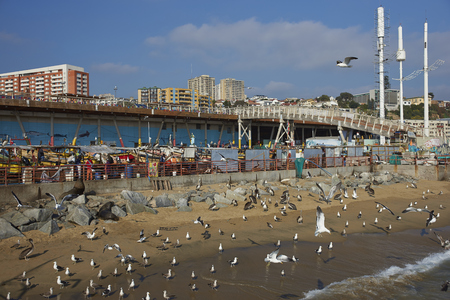 flavescens: VALPARAISO, CHILE - JULY 1, 2016: American Sea Lions (Otaria flavescens), Kelp Gulls (Larus dominicanus) and Peruvian Pelicans crowd around the fish market in the port city of Valparaiso in Chile. Editorial