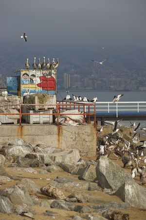 city fish market: VALPARAISO, CHILE - JULY 5, 2016: Peruvian Pelicans (Pelecanus thagus) and seagulls congregating on the beach next to the fish market in the UNESCO World Heritage port city of Valparaiso in Chile.
