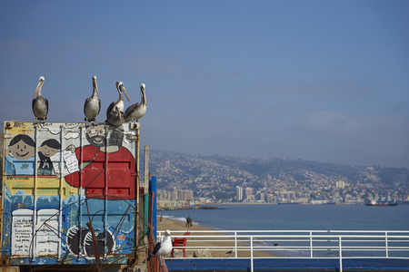 city fish market: VALPARAISO, CHILE - JULY 5, 2016: Peruvian Pelicans (Pelecanus thagus) standing on an old shipping container at the fish market in the UNESCO World Heritage port city of Valparaiso in Chile.