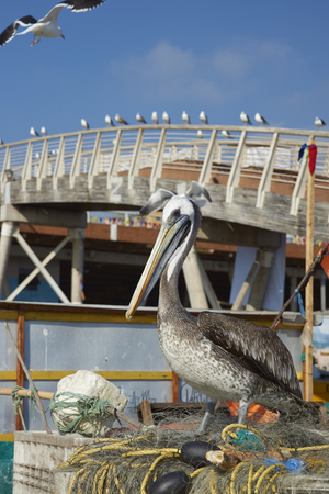 redes de pesca: Peruvian Pelican (Pelecanus thagus) standing on a pile of old fishing nets at the fish market Foto de archivo