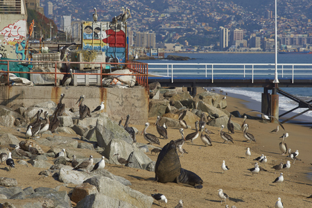 flavescens: VALPARAISO, CHILE - JULY 5, 2016: South American Sea Lion (Otaria flavescens), pelicans and seagulls  on the beach next to the fish market in the  port city of Valparaiso in Chile.