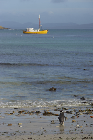 Solitary Magellanic Penguin (Spheniscus magellanicus) on the beach of Carcass Island in the Falkland Islands. Fishing boat at anchor in the distance. Stock Photo