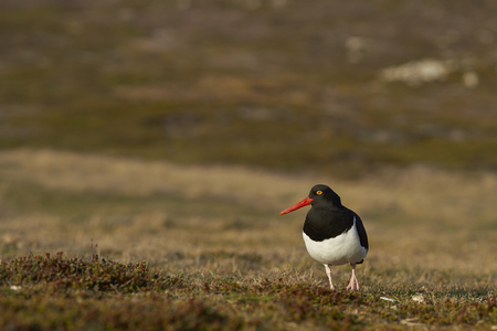 grass area: Magellanic Oystercatcher (Haematopus leucopodus) standing on a grass area of Carcass Island in the Falkland Islands.