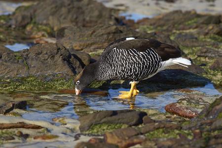 carcass: Vrouw Kelp Goose (Chloephaga hybrida malvinarum) voeden met de vegetatie in rock zwembaden aan de kust van Karkas Island in de Falklandeilanden.