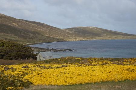 karkas: Gele bloemen van gaspeldoornstruiken over de heuvels rond Dyke Bay op Karkas eiland in de Falkland Eilanden.