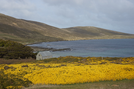 karkas: Yellow flowers of gorse bushes covering the hills around Dyke Bay on Carcass Island in the Falkland Islands.