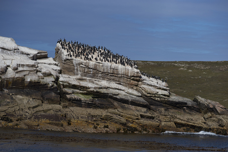 phalacrocorax atriceps: Large group of Imperial Shag (Phalacrocorax atriceps albiventer) on a rocky outcrop in the sea off Carcass Island in the Falkland Islands.