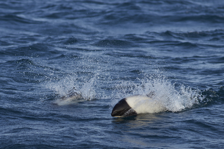 karkas: Pair of Commersons Dolphin (Cephalorhynchus commersonii) swimming through the sea off Carcass Island in the Falkland Islands