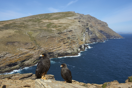 striated: Pair of Striated Caracara (Phalcoboenus australis) standing a rocky cliff on West Point Island in the Falkland Islands.