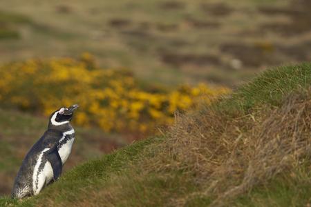 carcass: Magelhaenpinguïn (Spheniscus magellanicus) staan onder de lente bloeiende gaspeldoorn struiken op Karkas eiland in de Falkland Eilanden.