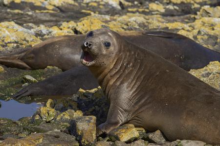 karkas: Female Southern Elephant Seal (Mirounga leonina) on the coast of Carcass Island in the Falkland Islands.