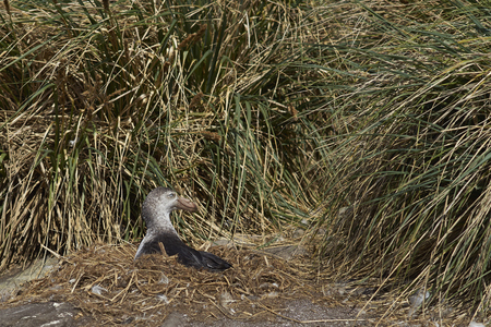 shingle beach: Northern Giant Petrel (Macronectes halli) sitting on a nest on a shingle beach on Carcass Island in the Falkland Islands. Stock Photo