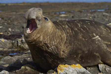 karkas: Mannelijke Zuidelijke zeeolifant (Mirounga leonina) op de kust van Karkas Island in de Falklandeilanden.