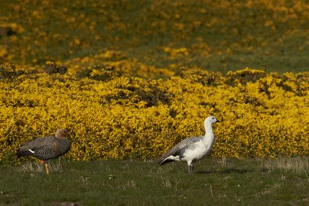 karkas: Pair of Upland Geese (Chloephaga picta leucoptera) walking past flowering gorse on Carcass Island in the Falkland Islands. Stockfoto