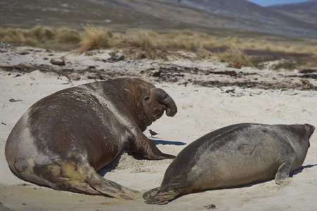 accosting: Male Southern Elephant Seal (Mirounga leonina) accosting a female on the coast of Carcass Island in the Falkland Islands. Stock Photo
