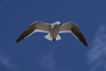 carcass: Dolphin Gull (Leucophaeus scoresbii) in flight on the coast of Carcass Island in the Falkland Islands.