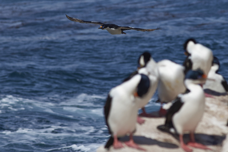karkas: Imperial Shag (Phalacrocorax atriceps albiventer) flying past a group of birds on the coast of Carcass Island in the Falkland Islands
