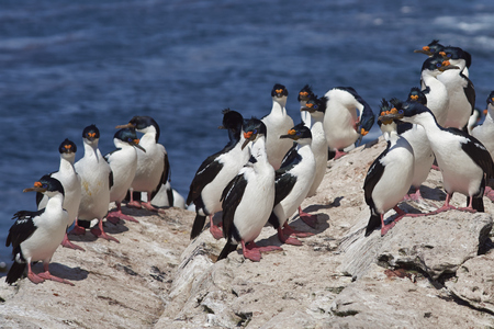 phalacrocorax atriceps: Group of Imperial Shag (Phalacrocorax atriceps albiventer) on a rock ledge on the coast of Carcass Island in the Falkland Islands Stock Photo