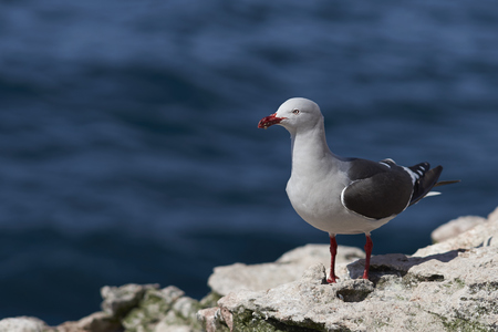 pink dolphin: Dolphin Gull (Leucophaeus scoresbii) standing on a rock ledge on the coast of Carcass Island in the Falkland Islands.