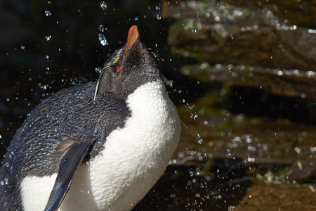 Rockhopper Penguin (Eudyptes chrysocome) having a shower under a waterfall on the cliffs of Saunders Island on the Falkland Islands. Stock Photo