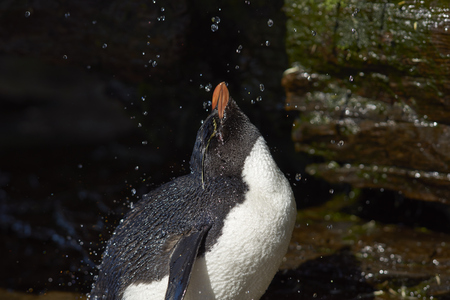 hygenic: Rockhopper Penguin (Eudyptes chrysocome) having a shower under a waterfall on the cliffs of Saunders Island on the Falkland Islands. Stock Photo