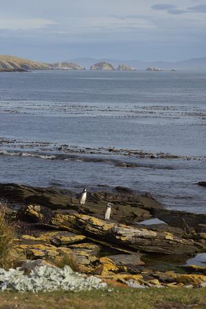 carcass: Magelhaense Penguins (Spheniscus magellanicus) komen aan wal op Karkas eiland in de Falkland Eilanden.