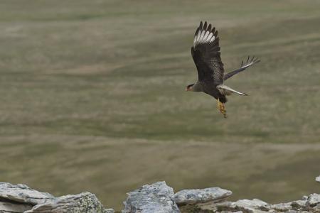 carcass: Southern Caracara (Caracara plancus) tijdens de vlucht over Karkas Island in de Falklandeilanden.
