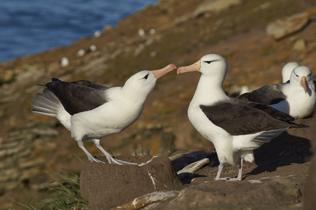 Pair of Black-browed Albatross (Thalassarche melanophrys) courting on the cliffs of Saunders Island in the Falkland Islands. Stock Photo