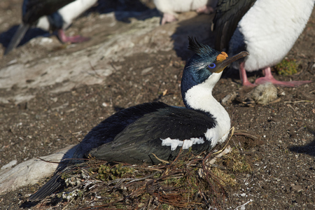 phalacrocorax atriceps: Imperial Shag (Phalacrocorax atriceps albiventer) carrying material for making a nest on Carcass Island on the Falkland Islands