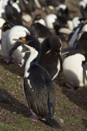 Imperial Shag (Phalacrocorax atriceps albiventer) standing on the edge of a large colony of birds on Saunders Island on the Falkland Islands