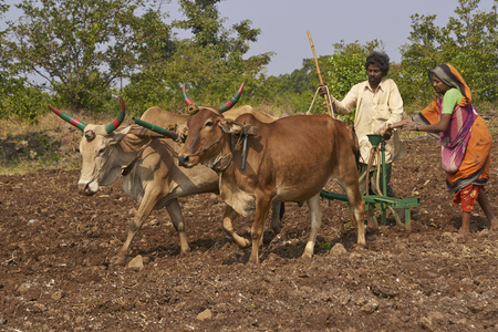 MANDU, MADHYA PRADESH, INDIA - NOVEMBER 19, 2008: Man and woman driving two oxen in rows across a ploughed field and manually planting corn seeds using a rudimentary seed drill.
