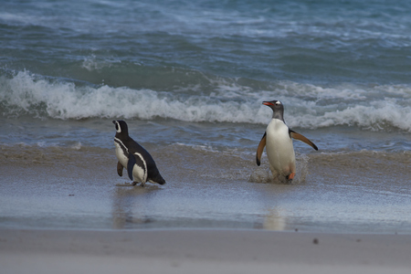 Gentoo Penguin (Pygoscelis papua) and Magellanic Penguin (Spheniscus magellanicus) on a large sandy beach on Bleaker Island in the Falkland Islands. Stock Photo