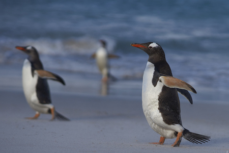 Gentoo Penguins (Pygoscelis papua) on a sandy beach on Bleaker Island in the Falkland Islands.