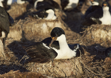 phalacrocorax atriceps: Nesting Imperial Shag (Phalacrocorax atriceps albiventer) on the edge of a large colony on Bleaker Island in the Falkland Islands Stock Photo