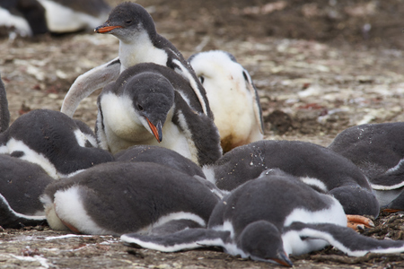 creche: Group of Gentoo Penguin chicks (Pygoscelis papua) in a creche on Bleaker Island in the Falkland Islands