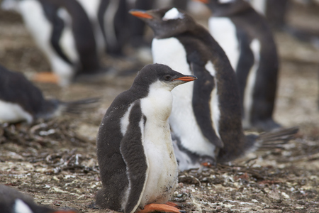 creche: Gentoo Penguin chick (Pygoscelis papua) in a creche on Bleaker Island in the Falkland Islands