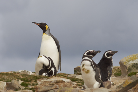 penguins on beach: Solitary King Penguin (Aptenodytes patagonicus) amongst a group of Magellanic Penguins (Spheniscus magellanicus) on the coast of Bleaker Island in the Falkland Islands.
