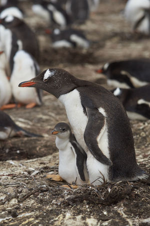 creche: Gentoo Penguin with chick (Pygoscelis papua) stay close together on Bleaker Island in the Falkland Islands