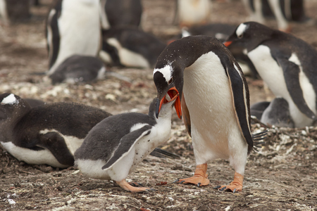 Gentoo Penguin (Pygoscelis papua) regurgitating food to feed its chick on Bleaker Island in the Falkland Islands Stock Photo