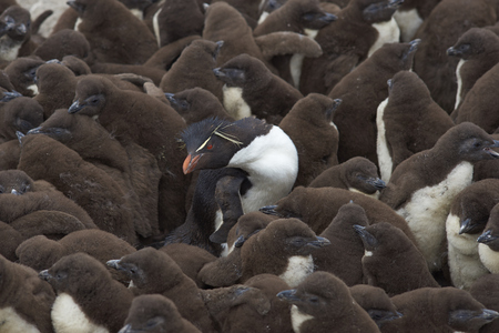 Adult Rockhopper Penguin (Eudyptes chrysocome) standing amongst a large group of nearly fully grown chicks on the cliffs of Bleaker Island in the Falkland Islands. Stock Photo