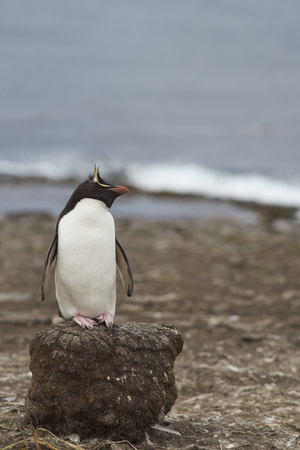 Rockhopper Penguin (Eudyptes chrysocome) standing on the remains of clump of tussock grass on the cliffs of Bleaker Island in the Falkland Islands
