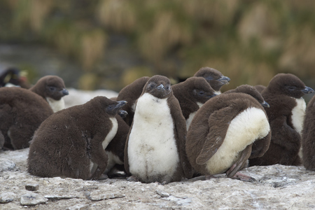 creche: Rockhopper Penguin chicks (Eudyptes chrysocome) huddle together in a creche whilst their parents are away at sea feeding. Coast of Bleaker Island in the Falkland Islands. Foto de archivo