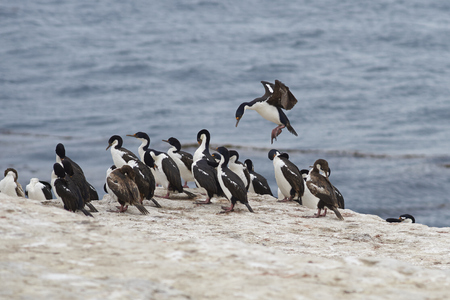 Imperial Shag (Phalacrocorax atriceps albiventer) coming into land among a large group of birds on the coast of Bleaker Island on the Falkland Islands Stock Photo