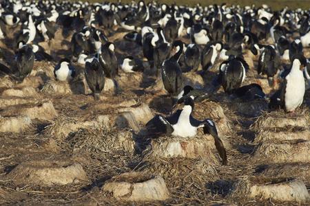 phalacrocorax atriceps: Large colony of Imperial Shag (Phalacrocorax atriceps albiventer) on Bleaker Island on the Falkland Islands Stock Photo