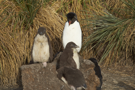 plummage: Adult Rockhopper Penguin (Eudyptes chrysocome) standing with a group of nearly fully grown chicks amongst the tussock grass on the cliffs of Bleaker Island in the Falkland Islands.
