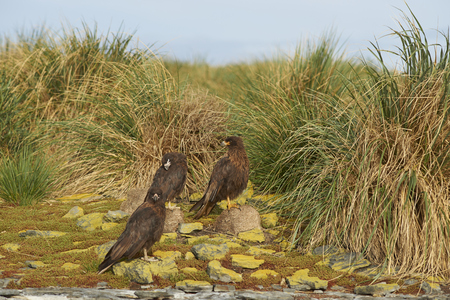 striated: Group of Striated Caracara (Phalcoboenus australis) standing on the cliffs on Bleaker Island in the Falkland Islands.