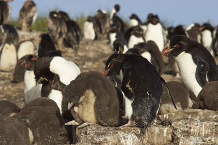 creche: Rockhopper Penguins (Eudyptes chrysocome) with chicks at their nesting site on the cliffs of Bleaker Island in the Falkland Islands