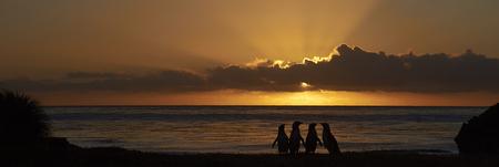 Magellanic Penguins (Spheniscus magellanicus) silhouetted at dawn against the sunrise on Bleaker Island in the Falkland Islands.