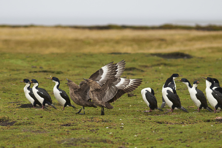 phalacrocorax atriceps: Falkland Skua (Catharacta antarctica) with wings outstretched next to a group of Imperial Shag (Phalacrocorax atriceps albiventer) on Bleaker Island in the Falkland Islands. Stock Photo