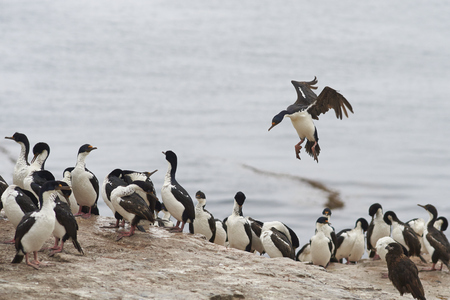 phalacrocorax atriceps: Imperial Shag (Phalacrocorax atriceps albiventer) coming into land among a large group of birds on the coast of Bleaker Island on the Falkland Islands Stock Photo